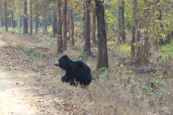 sloth bear on the run 1