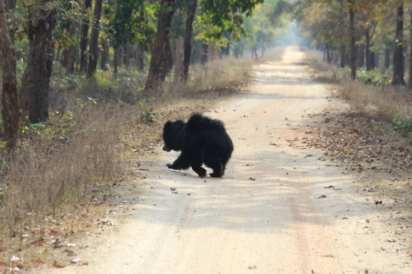 Sloth bear on the run 4