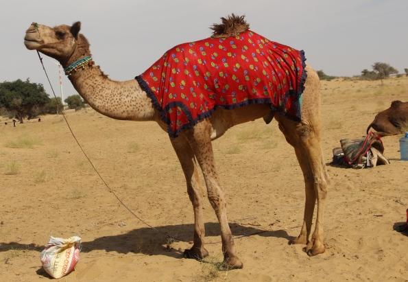 leopard camel