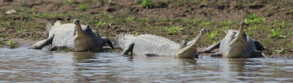 three gharials