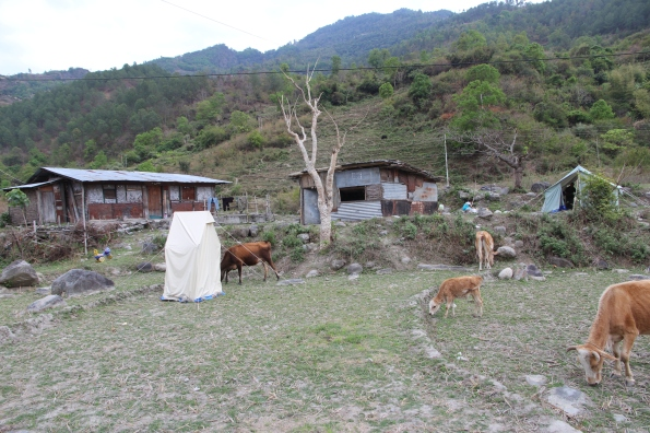 cows and tent