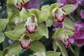 green pink orchid