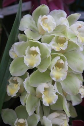 Platinum Bird orchid