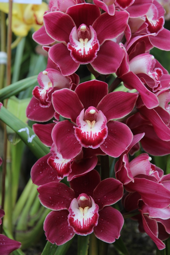 rose-coloured orchid
