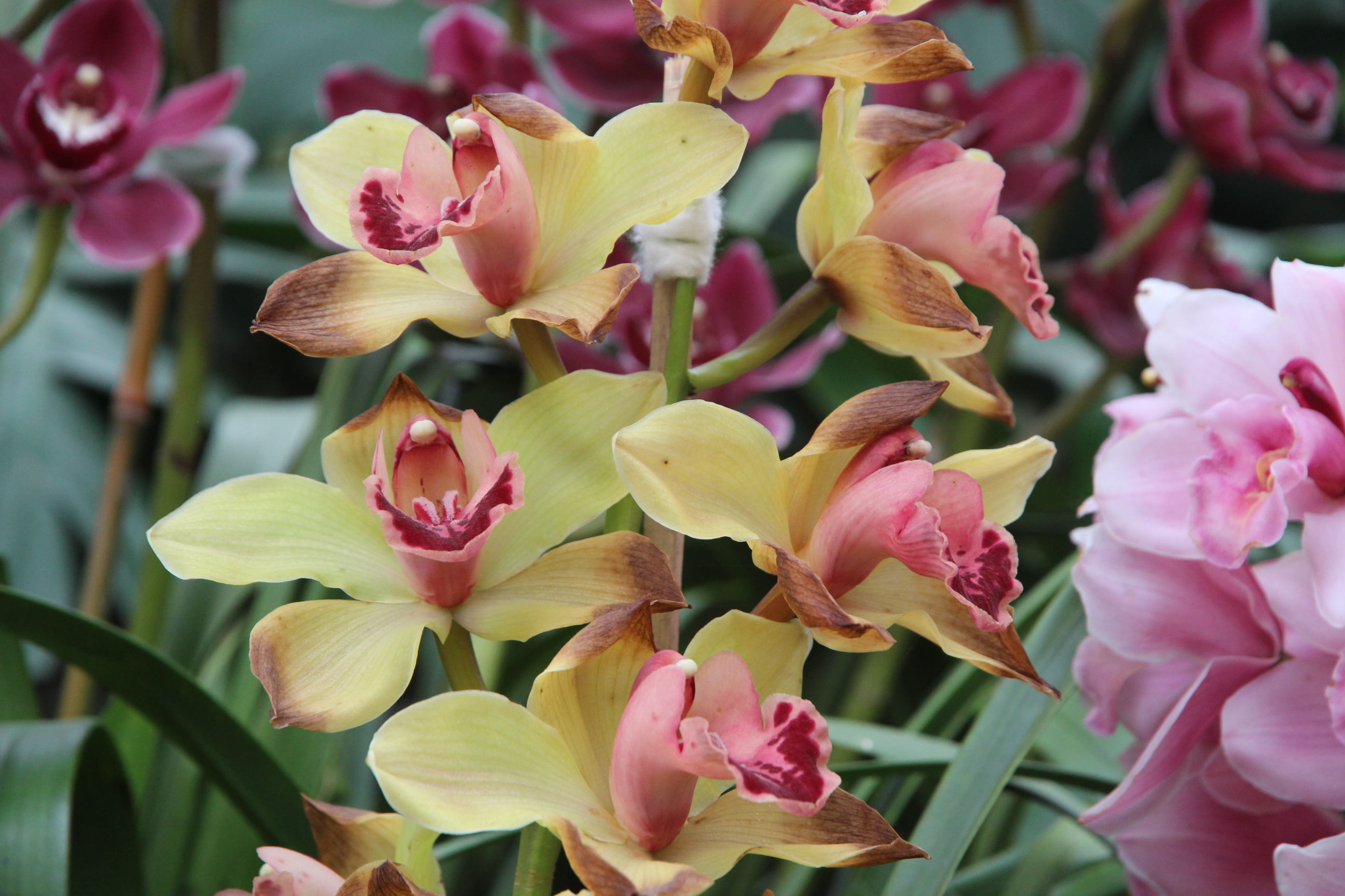 Yellow And Pink Orchid Need help to identify ...