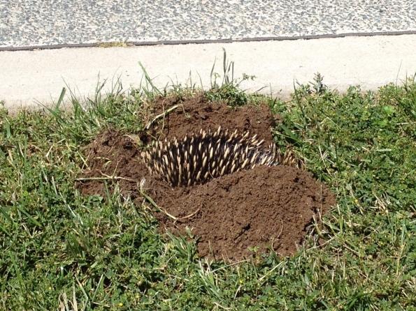 echidna digging in