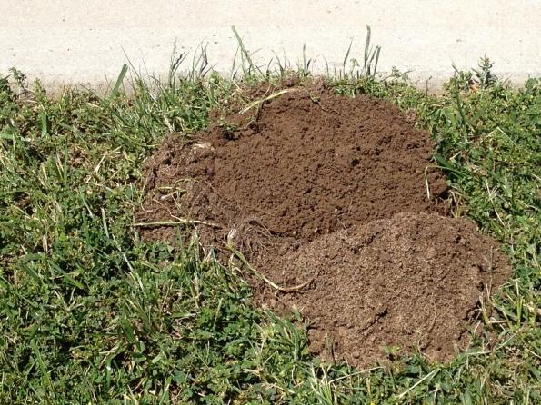 buried echidna