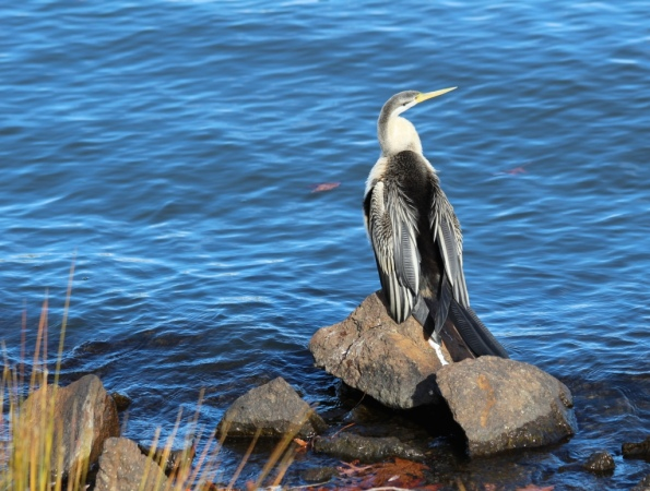 Cormorant, Lake Burley Griffin