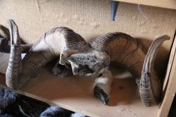 Dall sheep horns