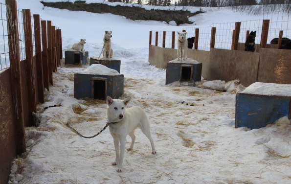 White sled dogs