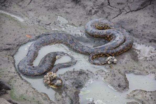 Anaconda, Pantanal
