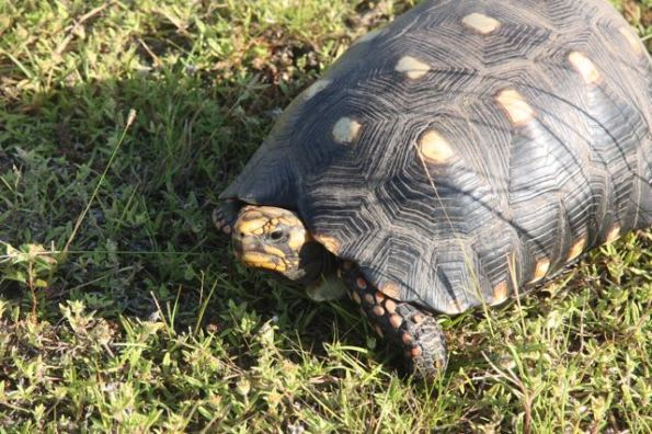 Red-footed tortoise, Pantanal