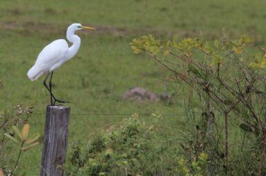 Pantanal egret