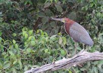 Pantanal bird
