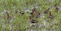 Pantanal ducks