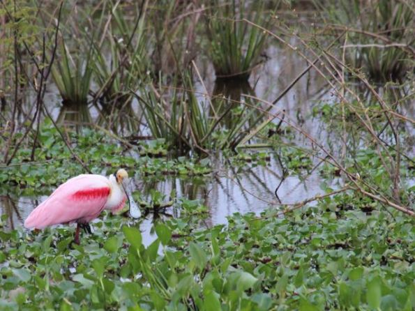 Spoonbill in the Pantanal