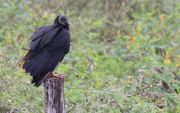 Pantanal vulture