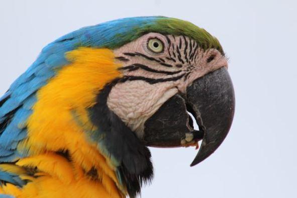 Pantanal macaw