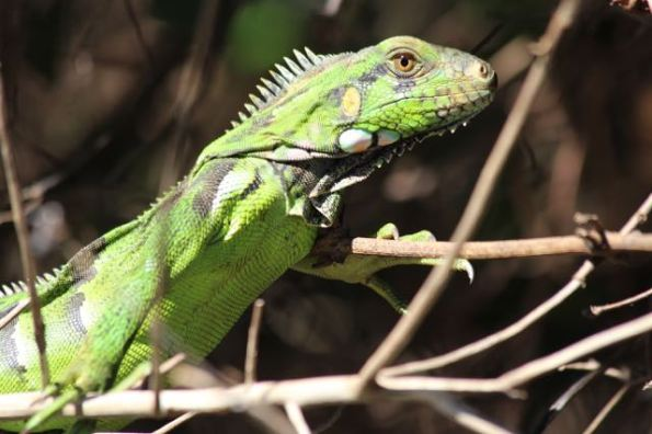 reptile in the Pantanal