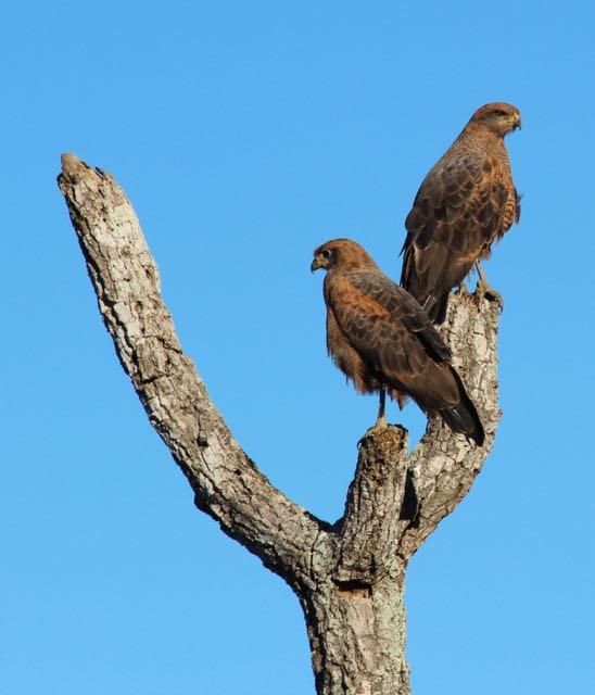 Hawks in the Pantanal