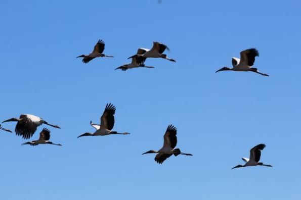birds in Pantanal