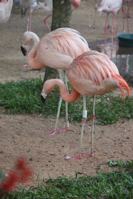 Two flamingoes