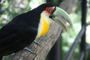 toucan with green bill
