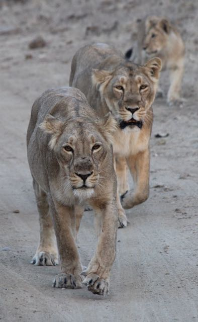 Asiatic lions in India