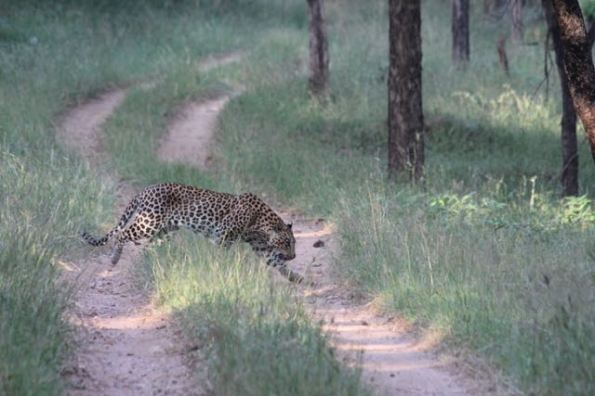 Male leopard, Pench