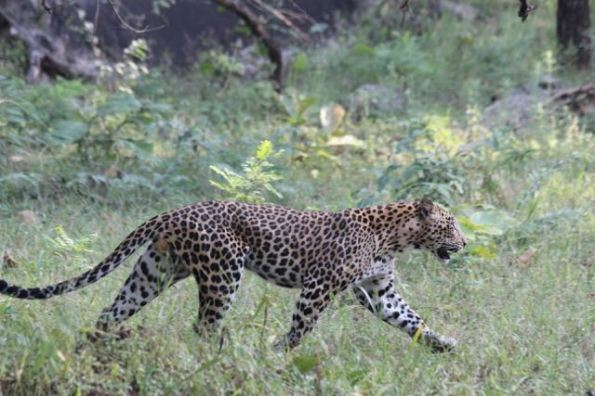 Leopard walking, Pench