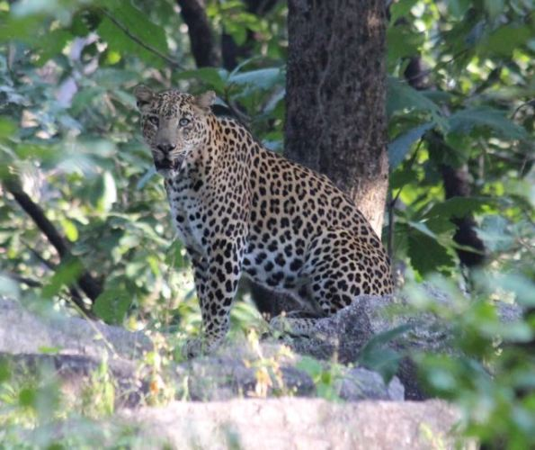 Leopard Pench