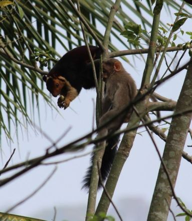 Malabar squirrel with macaque