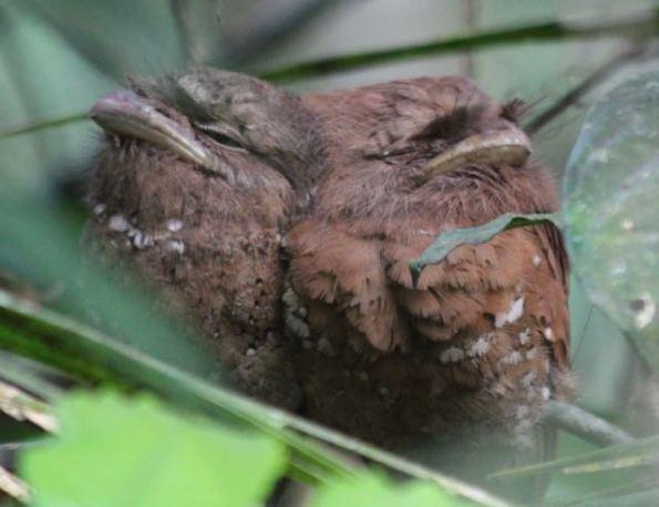 Sri Lanka frogmouths