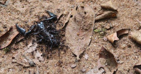 Dead scorpion