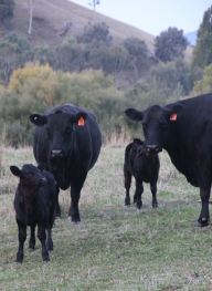 Cows and calves