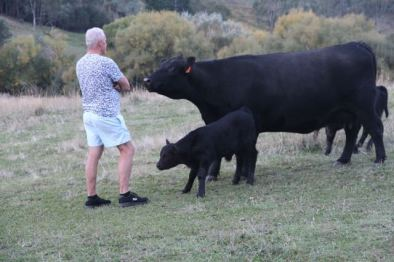Black Angus and calves