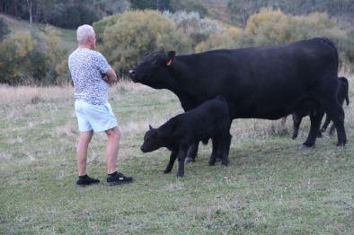 Black Angus and calves