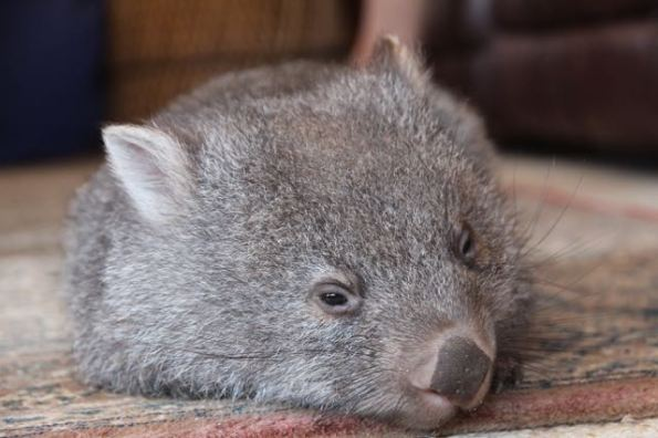 Tink the Wombat, Flinders Island