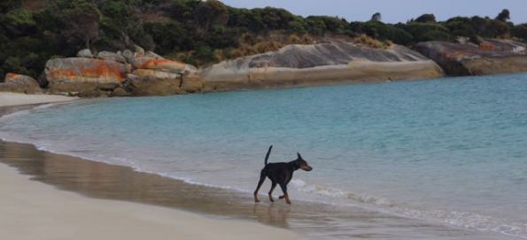 Dog in water at Allport Beach, Flinders Island