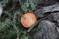 Fungus, Flinders Island