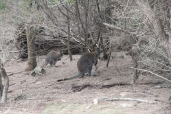 Wallabies on Flinders Island