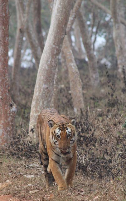 Prince, tiger, Bandipur