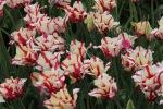 Rundāle Palace, tulips