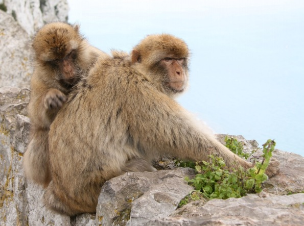 Barbary macaques, Gibraltar