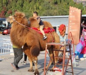 Riding a camel, China