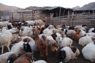Mongolian sheep