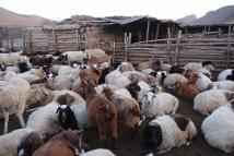 Mongolian sheep