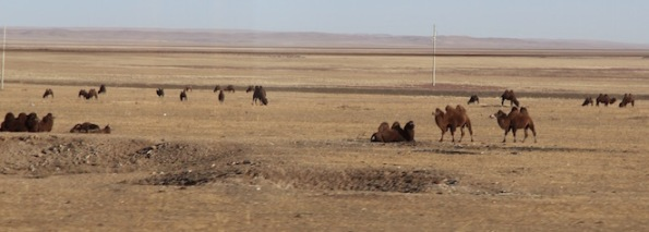 Bactrian camels in the Gobi desert