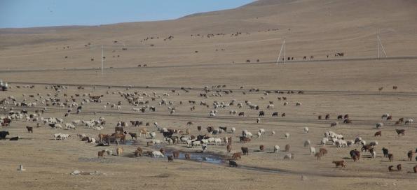 Livestock Mongolia