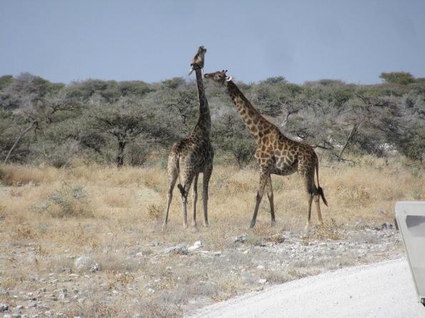 Giraffes, canoodling? in Etosha national park, Namibia